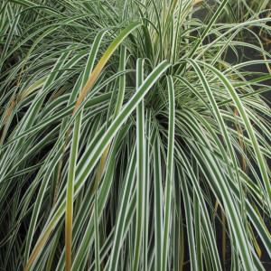 Carex oshimensis 'Everest'