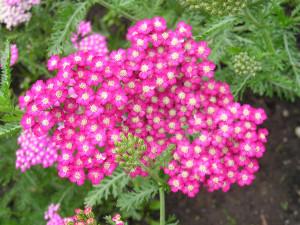 Achilée millefolium Cerise Queen